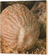 Whole Nutmeg Nuts Wood Print