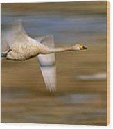 Whooper Swan Cygnus Cygnus Flying Wood Print