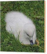 Whooper Swan Juvenile  Wood Print