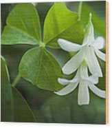 Whtie Clover Flower Wood Print