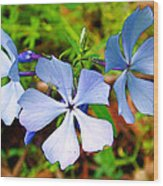 Wild Blue Phlox Near Hastings-michigan   Wood Print