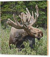 Wild Bull Moose Wood Print