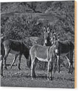 Wild Burros In Black And White  Wood Print