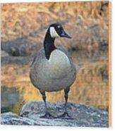 Wild Canadian Goose Wood Print