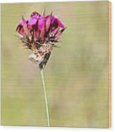 Wild Carnation With Nocturnal Moth Wood Print
