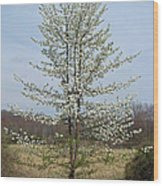 Wild Cherry Tree In Spring Bloom Wood Print