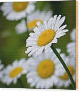 Wild Daisies After The Rain Wood Print