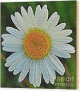 Wild Daisy With Dew Wood Print