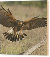 Wild Harris Hawk Landing Wood Print