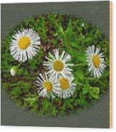 Wild Miniature Daisies Wood Print