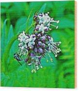 Wild Mint On Great Glacier Trail In Glacier National Park-british Columbia Wood Print