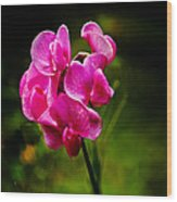 Wild Pea Flower Wood Print by Robert Bales