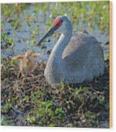Wild Sandhill Crane Feeding First Colt Wood Print