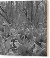Wild Skunk Cabbage Bw Wood Print