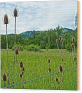 Wild Teasel In Nez Perce National Historical Park-id- Wood Print