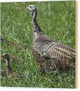 Wild Turkey And Poults Wood Print