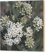 Wildflowers - White Yarrow Wood Print