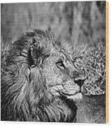 Wildlife Lion Wood Print
