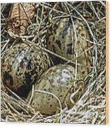 Willet Catoptrophorus Semipalmatus Eggs Wood Print