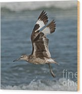 Willet In Flight Showing Wing Molt Wood Print