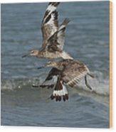 Willets In Flight Showing Molt Wood Print
