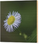 Willow Aster Wood Print