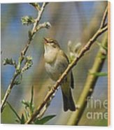 Willow Warbler Singing In Spring Wood Print by John Kelly