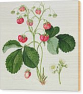 Wilmot's Cocks Comb Scarlet Strawberry Wood Print by William Hooker