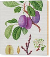 Wilmot's Early Violet Plum Wood Print by William Hooker