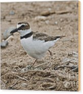 Wilsons Plover At Nest Wood Print