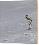 Wilson's Plover Chick Photo Wood Print