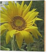 Windblown Sunflower Two Wood Print