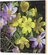 Winter Acconite And Crocus Flowers Wood Print