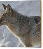 Winter Coyote In Yellowstone Wood Print