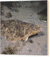 Winter Flounder Wood Print