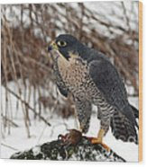 Winter Hunt Peregrine Falcon In The Snow Wood Print