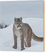 Winter Mountain Lion  Wood Print by Sandra Bronstein