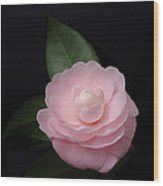 Winter Pink Camellia Wood Print