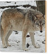 Winter Wolf In The Snow Wood Print