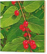 Winterberry Along Rivier Du Nord Trail In The Laurentians-qc Wood Print