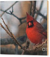 Northern Cardinal Red Beauty  Wood Print
