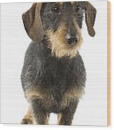 Wire-haired Dachshund Wood Print