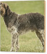 Wirehaired Pointing Griffon Wood Print