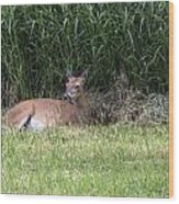 Wisconsin Doe Resting Wood Print