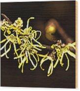 Witch-hazel- Hamamelis - Woodland Shrub Wood Print