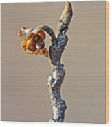 Witch Hazel Springtime Twig - Hamamelis Wood Print