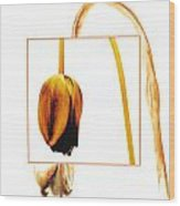 Withered Tulip Flower. Vintage-look Wood Print