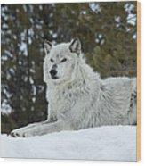 Wolf - Resting Wood Print