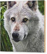 Wolf Alpha Male Wood Print