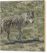 Wolf Wood Print by Tom Wilbert